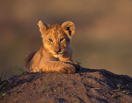 Photos Lion on Lion Cub