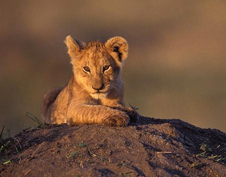 Lion RP 8lion-cub-mara