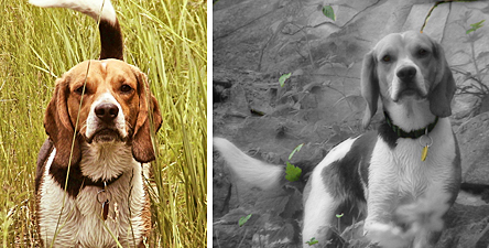 Baley the Beagle from Crested Butte, Colorado, as photographed by his owner, Alissa Laney.