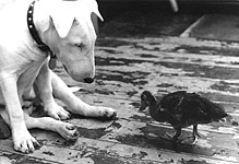 The bull terrier, named Booth, was like a mother to the duckling.