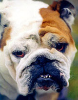 Toning the effects down a bit can make a bulldog look even more wrinkly.