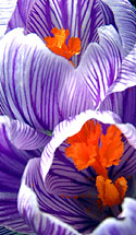 The bright colors of the crocus, a welcome sight in early Spring, were captured with a macro lens.