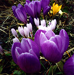The tremendous depth-of-field of a pinhole camera is illustrated in this picture of springtime crocuses taken using a Kodak 126 film-box camera. Exposure - 4 sec at ƒ/128.
