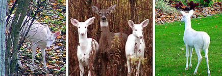 It's rare enough to see one albino deer, but photographer Dave Mitchell captured two on film.