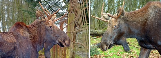 Both of these moose photos were taken through wire fencing at the Greater Vancouver Zoo.