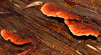 Possibly red shelf fungus on a felled log.