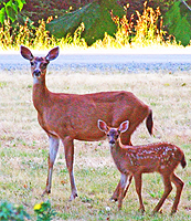 This doe and her fawn are juxtaposed.