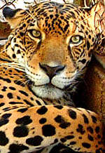 The powerful jaguar is an endangered species. It is rare to see one in the wild.