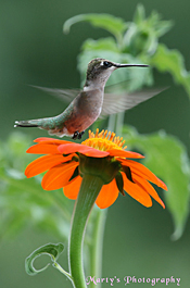 Marty Maynard's photo of a hummingbird is also a beautiful picture of a flower.