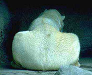 Why it's the backside of a polar bear.