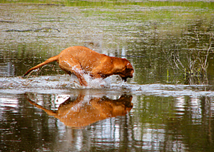 A Rhodesian Ridgeback demonstrating his high-spirited love of action.