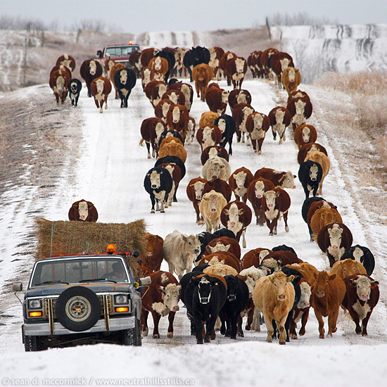 An Alberta cattle drive in January is more quickly accomplished when using the road. Other drivers need to show patience until the road is clear.