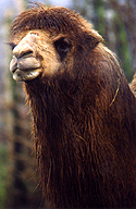 Image #1 is a close-up taken of this camel's snout.