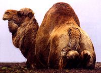 The dromedary is the one-humped camel of Northern Africa and Arabia - sometimes called the
