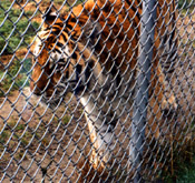 How can you get a clear picture of the tiger without the fence?