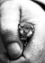 How do you hold a baby mouse when you're feeding it? Firmly, but gently.