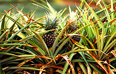 Hawaiian pineapples appear to be hiding in their protective foliage. Bright, overhead sun made it necessary to expose for the mid-range lighting (where the pineapples are) , creating over-exposed highlights on top and dark shadow areas under the greenery.