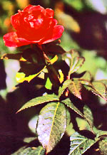 This red rose is isolated from the background by selective focusing, causing the background to be blurred.